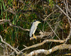 Black-crowned Night Heron1005