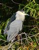 Black-crowned Night Heron4006