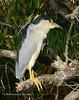 Black-crowned Night Heron2001