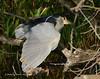 Black-crowned Night Heron3004