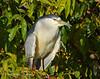 Black-crowned Night Heron6002