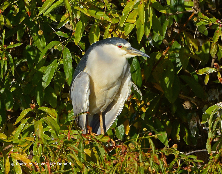 Black-crowned Night Heron5003
