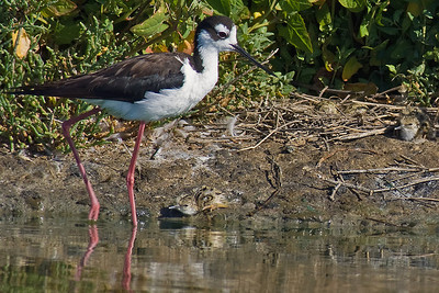 Baby Black-necked Stilt with Mommy