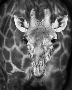 This BW photograph of a Rothschild Giraffe was captured in Lake Nakuru National Park, Kenya, Africa  (2/15). This photograph is protected by International and U.S. Copyright Laws and shall not to be downloaded or reproduced by any means without the formal written permission of Ken Conger Photography.