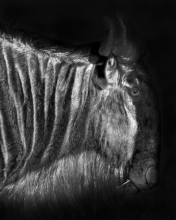 This black and white photograph of a Wildebeest was captured within the Masai Mara in Kenya, Africa (6/13).   This photograph is protected by the U.S. Copyright Laws and shall not to be downloaded or reproduced by any means without the formal written permission of Ken Conger Photography.