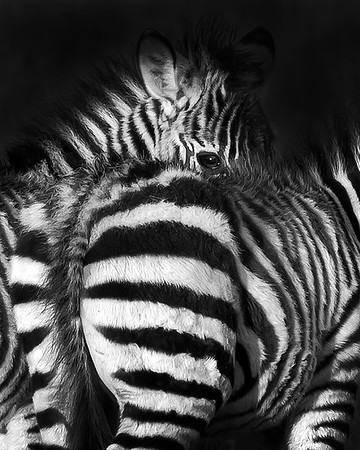 This photograph of a young Zebra was captured in Kenya, Africa (2/12).   This photograph is protected by the U.S. Copyright Laws and shall not to be downloaded or reproduced by any means without the formal written permission of Ken Conger Photography.