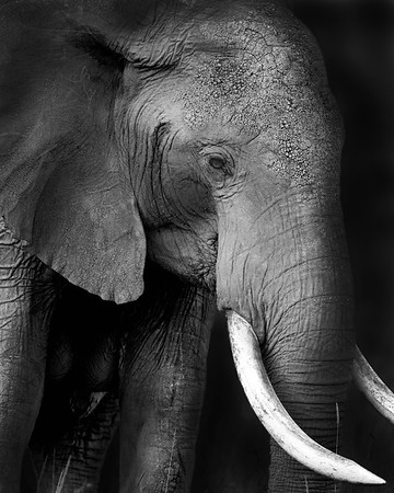 This photograph of a elephant was captured in the Maasai Mara National Reserve, Kenya, Africa (2/15). This photograph is protected by International and U.S. Copyright Laws and shall not to be downloaded or reproduced by any means without the formal written permission of Ken Conger Photography.