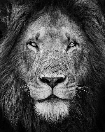 This male Lion photograph was captured in Kenya, Africa (2/12).   This photograph is protected by the U.S. Copyright Laws and shall not to be downloaded or reproduced by any means without the formal written permission of Ken Conger Photography.