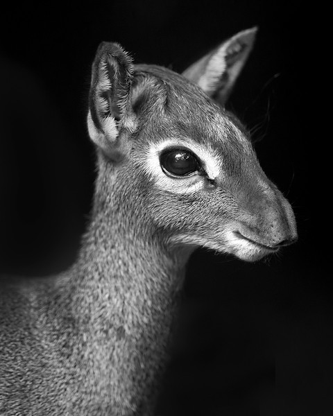 This photograph of a Dik-dik was captured within the Masai Mara in Kenya, Africa (3/13).   This photograph is protected by the U.S. Copyright Laws and shall not to be downloaded or reproduced by any means without the formal written permission of Ken Conger Photography.