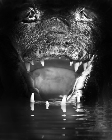 This close up mouth open Black & White Caiman photograph was captured in the Pantanal area of Brazil (8/12).  This image was digitally altered using a burn tool to enhance the blacks. This photograph is protected by the U.S. Copyright Laws and shall not to be downloaded or reproduced by any means without the formal written permission of Ken Conger Photography.