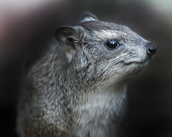 This photograph of a Rock Hyrax was captured in Masai Mara , Kenya, Africa  (2/15). This photograph is protected by International and U.S. Copyright Laws and shall not to be downloaded or reproduced by any means without the formal written permission of Ken Conger Photography.
