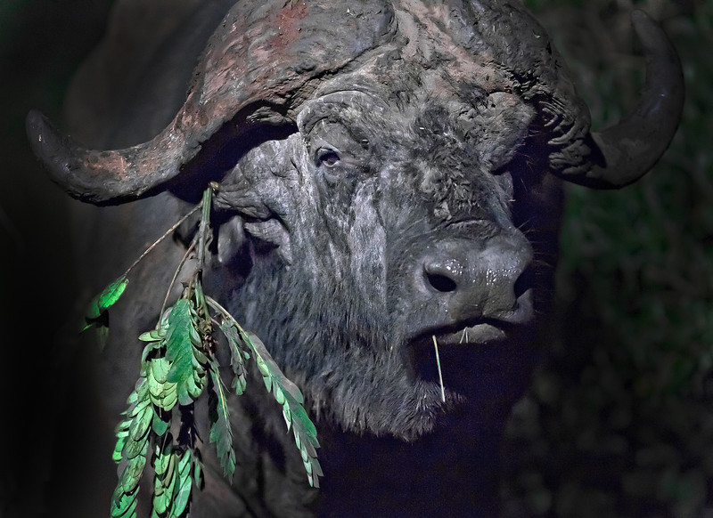 This night photograph of a African Buffalo was captured in Kenya, Africa (3/11).       This photograph is protected by the U.S. Copyright Laws and shall not to be downloaded or reproduced by any means without the formal written permission of Ken Conger Photography.
