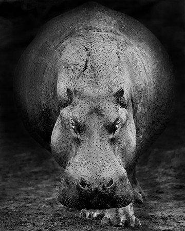 This BW photograph of Hippo was captured in the Retina Hippo Pool, in Serengeti National Park, Tanzania, Africa  (3/15). This photograph is protected by International and U.S. Copyright Laws and shall not to be downloaded or reproduced by any means without the formal written permission of Ken Conger Photography.