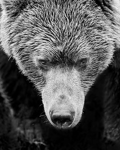 This closeup photograph of a Brown Bear was captured in Lake Clark National Park, Alaska (7/12).  This photograph is protected by the U.S. Copyright Laws and shall not to be downloaded or reproduced by any means without the formal written permission of Ken Conger Photography.