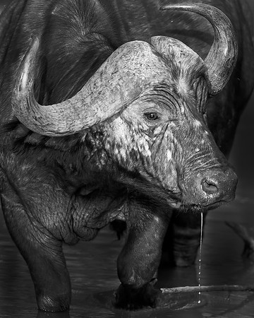 This photograph of a Water Buffalo was captured in Kenya, Africa (2/12).   This photograph is protected by the U.S. Copyright Laws and shall not to be downloaded or reproduced by any means without the formal written permission of Ken Conger Photography.