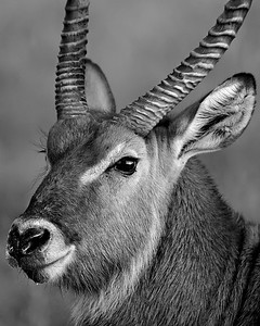This photograph of a Waterbuck was captured in Kenya, Africa (2/12).   This photograph is protected by the U.S. Copyright Laws and shall not to be downloaded or reproduced by any means without the formal written permission of Ken Conger Photography.