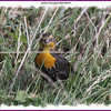 Yellow-headed Blackbird - October 11, 2011 - Hartlen Point, Eastern Passage, NS