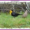 Yellow-headed Blackbird - May 27, 2008 - Halifax, NS