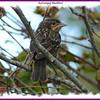 Red-winged Blackbird - September 22, 2008 - Bissett Lake, Dartmouth, NS