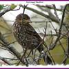 Red-winged Blackbird - September 22, 2008 - Bissett Lake, Cole Harbour, NS