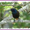 Common Grackle - September 16, 2007 - Lr. Sackville, NS