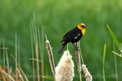 Male Yellow-headed Blackbird.  Photo taken by the Para Ponds near Othello, Washington.