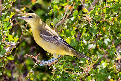 Female Bullock's Oriole at the Juniper Draw I-90 Rest Stop in Johnson County, Wyoming.
