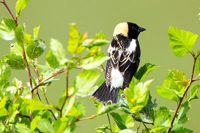 Male Bobolink near Calispell Lake in Pend Oreille County, Washington.