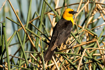 Male Yellow-headed Blackbird at Martha Lake near George, Washington.