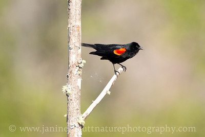 Male Red-winged Blackbird by a pond along the Hummocks Trail of the Mt. St. Helens National Volcanic Monument in Washington.