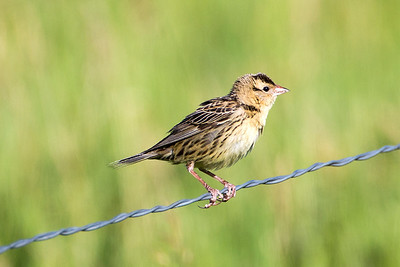 Female Bobolink at the Lostwood National Wildlife Refuge in Burke County, North Dakota.
