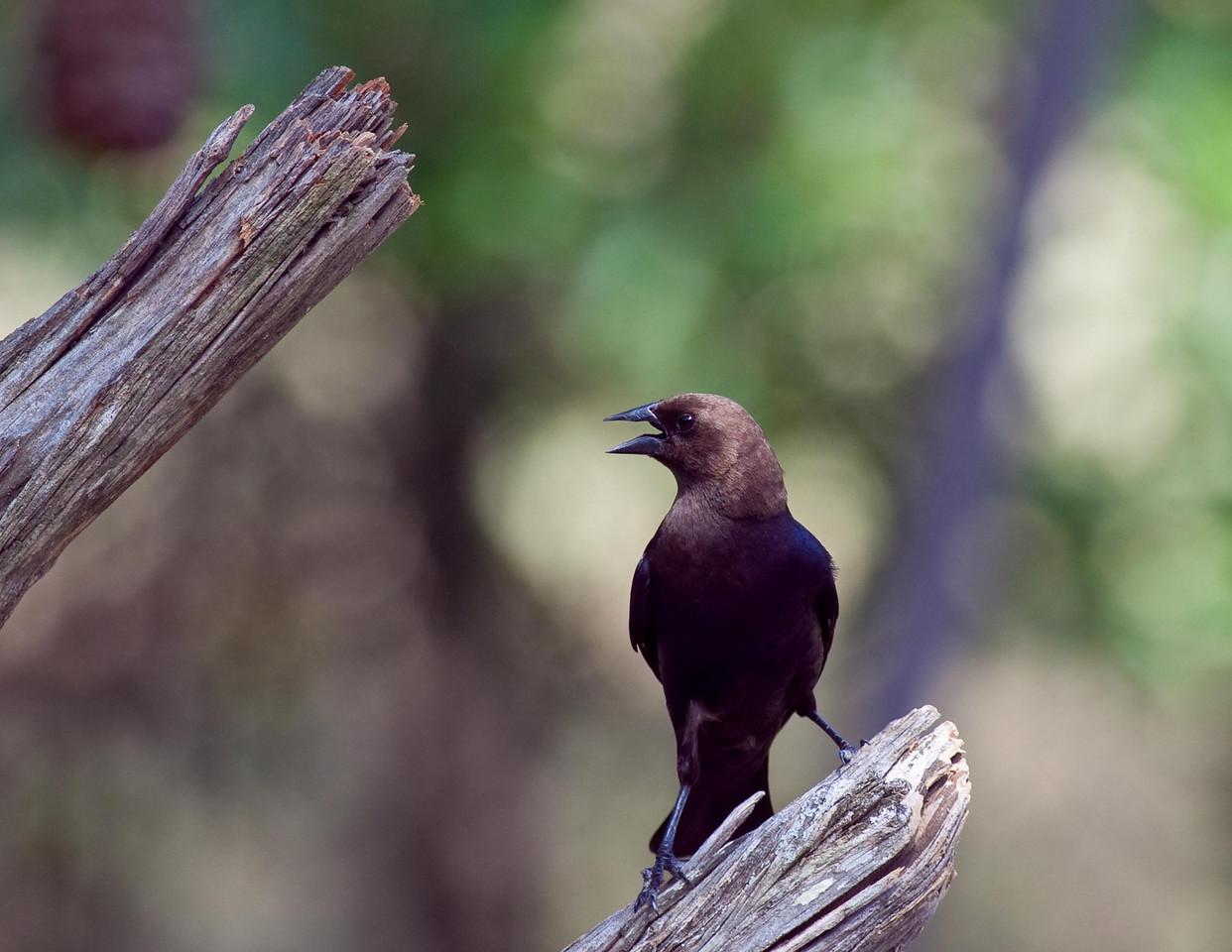Male Brown Headed Cowbird