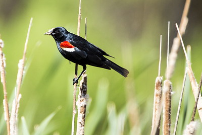 Male Tricolored Blackbird holding a grasshopper.  Photo taken at the Columbia National Wildlife Refuge near Othello, Washington.