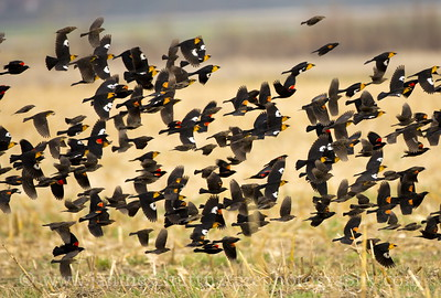 Mixed flock of Red-winged and Yellow-headed Blackbirds near Othello, Washington.  This photo was featured in the 2017 Audubon Photography Awards Top 100 gallery.