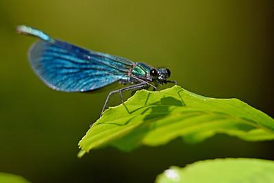 Blå jungfruslända