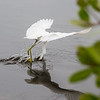 In an aeronautical feat, this snowy egret is flying while both dragging its feet and sticking its head in the water to catch one of the fish it has stirred up.