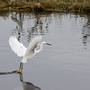 Snowy egret dragging its feet through the water, scaring unsuspecting fish toward the surface.