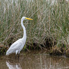 "This great egret is using the much more common feeding technique called ""stand and wait"" (another technical term used by ornithologists). Great egrets stand about 3 feet tall, have yellow bills and black legs and feet."