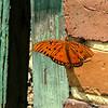 Gulf Fritillary Butterfly<br /> Montgomery County