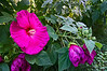 D219-2012 Hibiscus<br /> .<br /> Matthaei Botanical Gardens, Ann Arbor, Michigan.<br /> August 7, 2012.<br /> (nex5n)