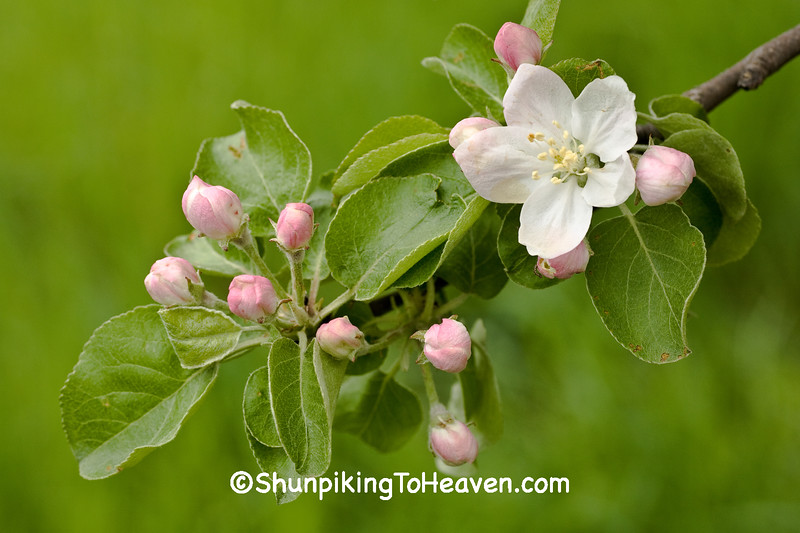Apple Blossoms, Richland County, Wisconsin