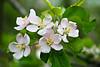 Apple Blossoms, Sauk Co., Wisconsin