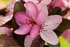 Royal Raindrops Crabapple Blossoms, Longenecker Gardens, Madison, Wisconsin