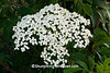 Elderberry Blossoms, Lafayette County, Wisconsin