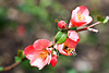 Honeybee on Flowering Quince, Granbury, Hood County, Texas