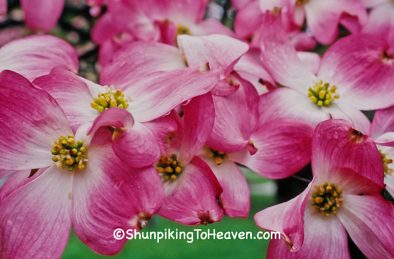 Pink Dogwood, Oldham County, Kentucky