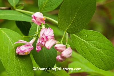 Honeysuckle Blossoms, Dane County, Wisconsin