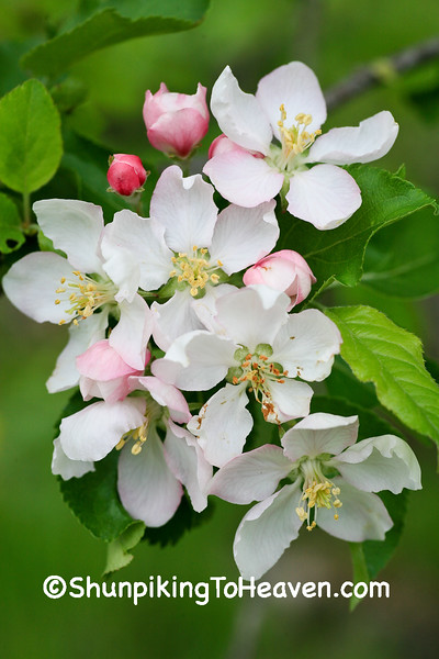 Apple Blossoms, Sauk County, Wisconsin