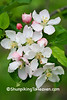 Apple Blossoms, Sauk County, Wisconsin