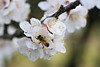 Honeybee on Pear Blossoms, Erath County, Texas